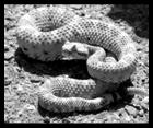 Rattlesnake, image by Tigerhawkvok, used under the Creative Commons Attribution ShareAlike 3.0 License